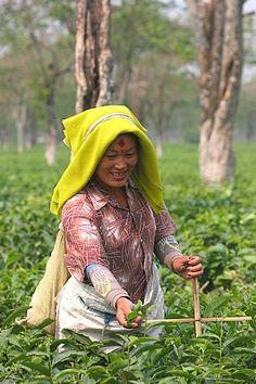 Dans la plaine du Teraï (région à cheval sur le Népal et l'Inde), on utilise d'étranges croix pour définir la hauteur des théiers. La croix prend appui sur le sol et l'on ne récolte que ce qui est au-dessus de son élément horizontal. Cela donne à cette joyeuse cueilleuse une allure de missionnaire du thé.
