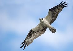 http://coolwildlife.com/wp-content/uploads/galleries/post-376/Osprey%20Pictures%20007.jpg