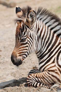 Very young zebra, via Flickr.