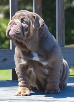 Lilac blue eyed English bulldog puppy.