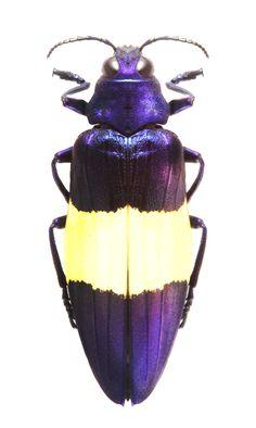 Chrysochroa castelnaudi