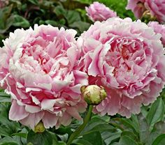 """Yes, the double, pink flowers are large (to 7"""" across) and noticeable from a distance, but we also value them for their soft Rose scent at the tail end of the season."""