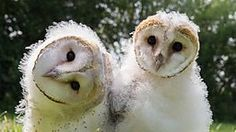 BBC Two - Natural World, 2015-2016, Super Powered Owls, Flying silently