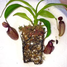 Look at dem roots! #californiacarnivores #nativeexotics #nepenthes #neps #monkeycup #monkeycups #pitcherplants #pitcherplants #carnivorousplant #carnivorousplants #carnivoroustagram #carnivorousplantswag #nature #instagood #instagram #instalike #instadaily #plant #plerd #nerd #nature #sphagnum #tropical #trending #terrarium #vivarium by joes.carnivores