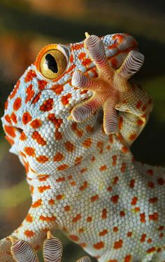 Tokay gecko; native to Asia, have a powerful jaws that clamp down on their prey