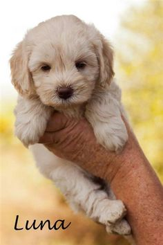 cute Puppies Australian labradoodle
