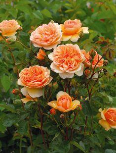c44693066 Beautiful garden flowers Shrub Roses, Fragrant Roses, Rose Trees, Rose  Leaves, Garden