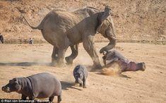 【画像あり】ライオン「カバさんを襲ってみた結果wwwww」|はや速