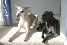 sun bathing- turtle does this Whippet Dog, Italian Greyhound, Country Of Origin, Dog Treats, Dog Cat, Creatures, Minden, 4 Life, Pets
