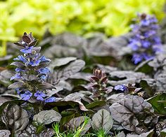Ajuga ~ This topnotch groundcover is grown mainly for its foliage, but also has pretty flowers. Ajuga produces glossy, dark green leaves and springtime spikes of blue flowers. Select varieties of this shade plant offer dark purple or variegated foliage, or pink or white flowers. Ajuga grows best in Zones 3-9 and grows only 6 inches tall.