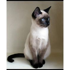 "izzykitty-love: "" Siamese Cat ❤ liked on Polyvore """