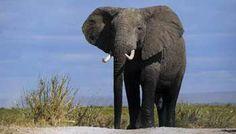 Kenya | Satao, un des plus grands éléphants d'Afrique, tué par des braconniers | Jeuneafrique.com - le premier site d'information et d'actualité sur l'Afrique