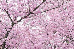 満開のピンクの桜の背景素材