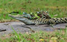 Five frogs managed to hitch a ride on the back of a bemused saltwater crocodile.