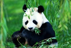 Hey Panda.. Look at here.. We are talking about you (seems busy eating)