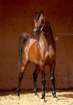 Rafahag, a gorgeous bay Arabian stallion from Issan Stud. Beautiful Arabian Horses, Most Beautiful Horses, Majestic Horse, Beautiful Horse Pictures, Animals Of The World, Animals And Pets, Show Horses, Horses And Dogs, Pictures With Horses