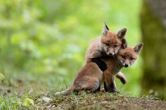 {little foxes}--- Oh hey look Kaylee it's the two fictional foxes I killed that are now playing in heaven