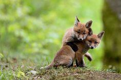 """{little foxes} Instantánea """"Renard"""" del fotógrafo Girandin Florian, vía Flickr. Por favor, hermanito, tranquilo, miremos a la cámara, vamos hacer famosos."""