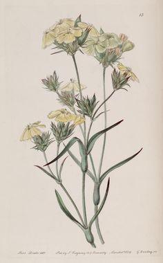 v. 25 (1839) - Edwards's botanical register. - Biodiversity Heritage Library - Dianthus