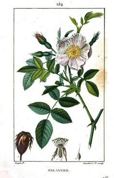 Painting of Wild Briar from Flore Médicale, Volume 3, by F.P. Chaumeton, Chamberet et Poiret, illustrated by E.M., illlustrated by E. Panckoucke and P.J.F. Turpin, published by C.L.F. Panckoucke (Paris), 1816 (on Google Books, digitized by Ghent University) https://books.google.com/books?id=sSdUAAAAcAAJ