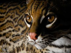 A rare wild Ocelot. According to one source, only one other Ocelot sighting has been reported since the Especie Animal, Mundo Animal, Animal Pictures, Ocelot, Wallpaper Magic, Geo Wallpaper, Animal Wallpaper, Beautiful Creatures, Animals Beautiful