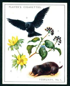 """Player's Cigarettes  """"A Nature Calendar"""" (series of 24 large cards issued in 1930) #3 February (1)"""