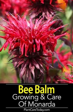 Bee Balm plant perennial Monarda fragrant flowers attract bees butterflies hummingbirds grows easy likes rich soil best flowers full sun. [LEARN MORE] Flowers Perennials, Planting Flowers, Growing Flowers, Bee Balm Flower, Bee Balm Plant, Flower Pot Design, Types Of Herbs, Seasonal Flowers, Plant Care