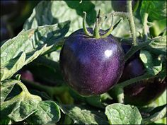 Purple Tomatoes   Grow antioxidant-rich purple tomatoes for additional health benefits.  An antioxidant rich purple tomato, that contains high levels of anthocyanins, has been bred by researchers at Oregon State University.  Anthocyanins provide potential health effects against: cancer, aging and neurological diseases, heart disease, inflammation & diabetes.    This new variety is a novelty type intended for home gardens and can be found in some seed catalogs.