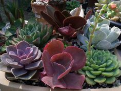 Cosmictree Cacti and Succulent Group