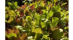 The following vegetable crops tolerate the cold and can be grown in the spring and again in the fall.
