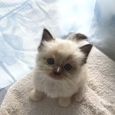 10 Ragdoll Cat Facts Every Cat Lover Should Know Ragdoll Kittens, Cute Cats And Kittens, Kittens Cutest, Funny Kittens, Bengal Cats, Funny Pugs, Siamese Cat, Pretty Cats, Beautiful Cats