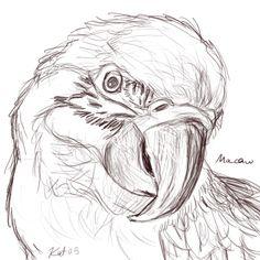 bird sketch Macaw Sketch by kalicothekat Cool Art Drawings, Pencil Art Drawings, Art Drawings Sketches, Bird Drawings, Realistic Drawings, Pencil Sketches Of Animals, Parrot Drawing, Bird Sketch, Color Pencil Art
