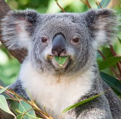 Koala love: yes, this as the last leaf for today time for a biiiiiiiig nap.