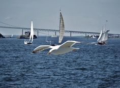 Sea gull and sailboats in Narragansett Bay with Newport Bridge in background