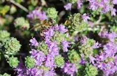 eniaftos: 20 Health Benefits of Thyme Oil Health Benefits Of Thyme, Kai, Holistic Medicine, Things To Know, Health Remedies, Life Is Beautiful, Natural Remedies, Herbalism, Health And Beauty