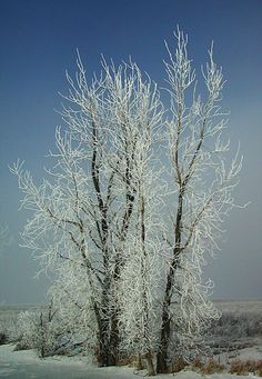 One of the delights of a North Dakota winter (not the 35 degrees below zero) is when hoar frost forms on every surface.