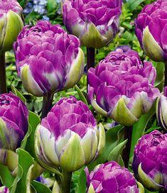 Tulpe 'Blue Wow'