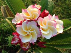 This gorgeous plumeria makes beautifully rounded petals of yellow-gold and some white rimmed in pink and red. The flower is reminiscent of a rose shape. Rare Flowers, Exotic Flowers, Beautiful Flowers, Rare Roses, Plumeria Flowers, Hawaiian Flowers, Plumeria For Sale, Hibiscus, Flower Pot Design