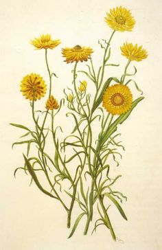 Image result for botanical print yellow daisy