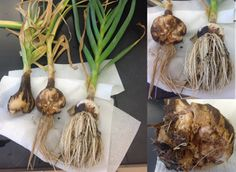 NMSU Plant Clinic: Stem and Bulb Nematode Discovered in New Mexico