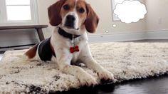 hmmm #beagle