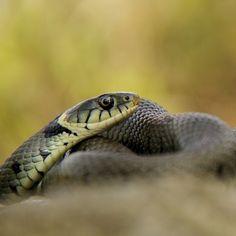 """Close up van een slang door M. Egberts. #Fotowedstrijd #Natuurmonumenten"""""""