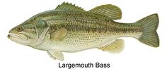 Largemouth Bass | Largemouth Bass image courtesy of [include photo credit here]
