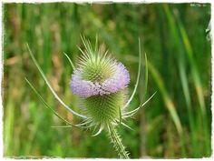 Teasel Root (Dipsacus Sylvestris) An herb that pulls hidden Spirochetes from tissue