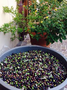 Raccolta olive - le fontanelle country house