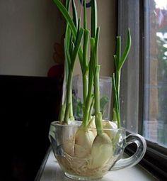 Ajo Cuando el ajo comienza a germinar, los pequeños brotes verdes son muy amargos para cocinar. Pero en lugar de tirar a la basura los dientes germinados, puedes poneros en un vaso con un poco de agua y crecer germinados brotes de ajo. Los brotes tienen un sabor mucho más suave que los dientes de ajo y son muy buenos en ensaladas, pastas y como guarnición.