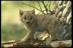 Luchs - Lynx