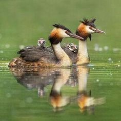 The Grebe family  Join us >>The world of birds