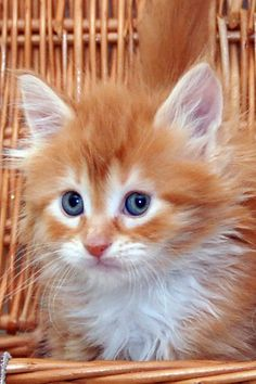 cat picture 1181x1772 with  maine coon roos2007 solo miotic pupil white hair whiskers pink nose sitting looking at vie...