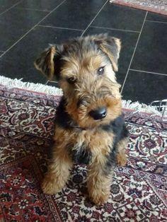 Resultado de imagen para welsh terrier 犬